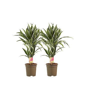 Kamerplanten – 2 × Drakenboom – Hoogte: 60 cm, 2 takken