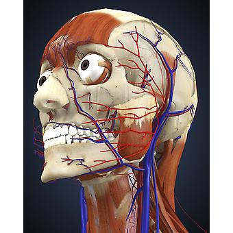 Human head with bone muscles and circulatory system Poster Print