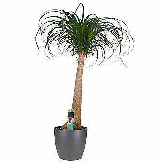 Plante d'intérieur de Botanicly – Noline recourbée – Hauteur: 90 cm – Beaucarnea