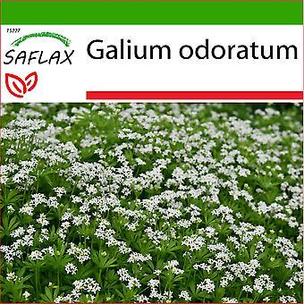 Saflax - 20 graines - Avec sol - Sweet woodruff - L'aspérule - Asperula - Reina de los bosques - Waldmeister