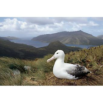 Zuidelijke Royal Albatross op tussock gras nesten Campbell eiland Nieuw-Zeeland Poster Print by Tui De Roy
