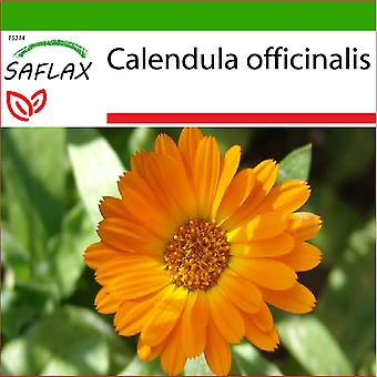 Saflax - 50 graines - avec de la terre - Pot Marygold - Souci - Calendula - Botón de oro - Ringelblume