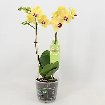 Orkidé fra Botanicly – Sommerfugl orkidé – Højde: 40 cm, 1 stængel – Phalaenopsis multiflora Nadine