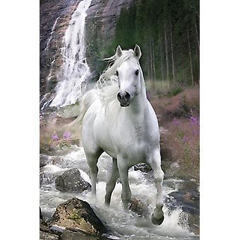 Pferde Poster Schimmel  Bob Langrish