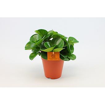 Planta de interior de Botanicly – Peperomia – Altura: 25 cm – Peperomia obtusifolia Green Gold