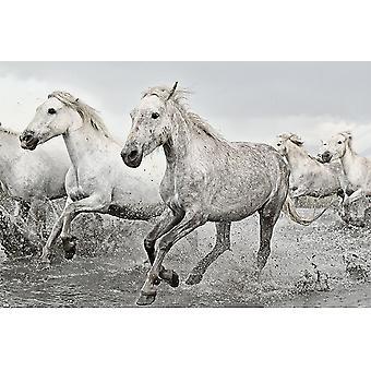Poster - Studio B - Camargue - White Horses 36x24