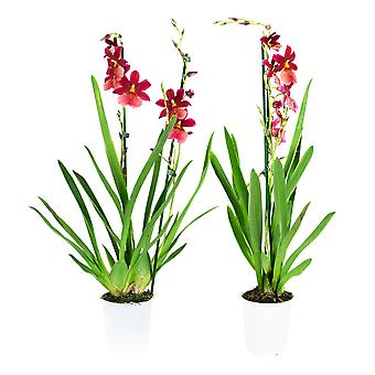 Choice of Green - 1 Cambria Nelly Isler - Orchid
