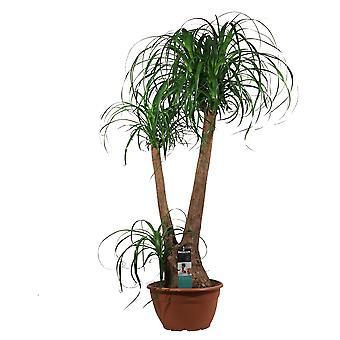 Zimmerpflanze von Botanicly – Elefantenfuß – Höhe: 90 cm – Beaucarnea