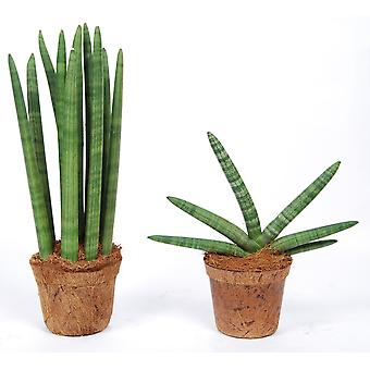 Trees from Botanicly – 2 × Snakeplant – Height: 38 cm – Sansevieria