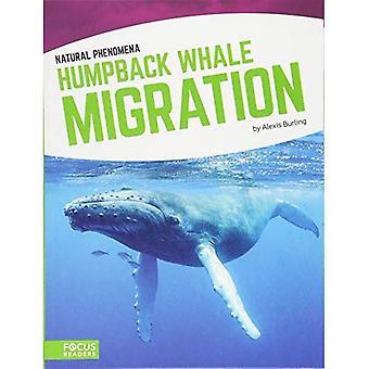Migration de la baleine à bosse