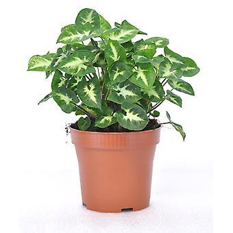 Zimmerpflanze von Botanicly – Purpurtute – Höhe: 25 cm – Syngonium Pixi