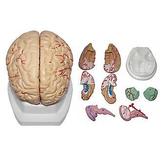 Life Size Medical Anatomical Human Regional Brain Model, Cerebral Cortex Nerve
