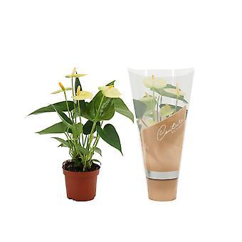 Zimmerpflanze von Botanicly – Flamingoblume – Höhe: 30 cm – Anthurium vanilla