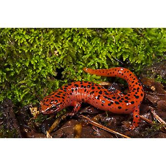 Red Salamander native to the southeastern United States Poster Print by Pete Oxford