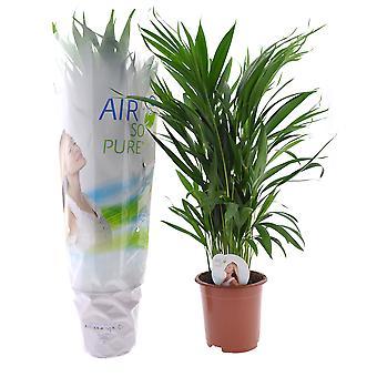 Zimmerpflanze von Botanicly – Goldfruchtpalme – Höhe: 65 cm – Areca dypsis lutescens