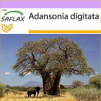 Saflax - 6 sementes - árvore de pão de macaco Africano - Baobá africain - Baobá africano - Árbol del pan del mono - Afrikanischer Affenbrotbaum