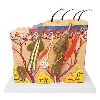 Disposition de la peau du modèle d'anatomie