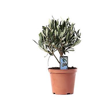 Zimmerpflanze von Botanicly – Olivenbaum – Höhe: 21 cm – Olea europeae