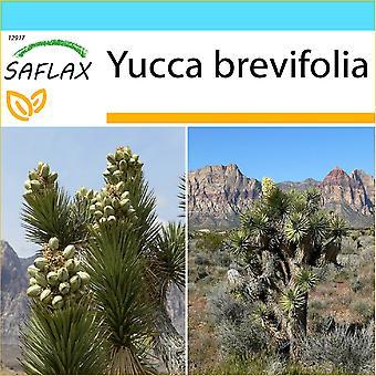 Saflax - Set regalo - 10 semi - albero di Joshua Joshua Tree - Arbre de Josué - Albero di Giosuè - Árbol de Josué-