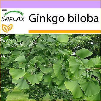 Saflax - 4 graines - arbre du Maidenhair - Ginkgo - Albero dei ventagli - Árbol de los escudos - Ginkgo