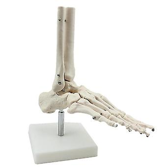 Os du pied Anatomie Modèle Pied et Cheville