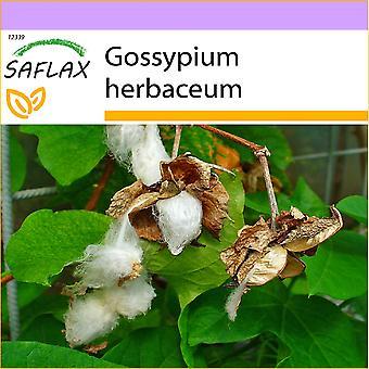 Saflax - 12 graines - Levant coton - Cotonnier - Cotone asiatico - Algodón - Topfbaumwolle