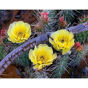 Opuntia kaktus kukkii Pohjois-Amerikassa Juliste Tulosta Tim Fitzharris