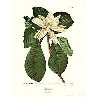 Magnolia No62 Poster Print by Christoph Jacob Trew (15 x 21)