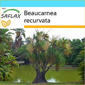 Saflax - Set regalo - 10 semi - Ponytail Palm - Pied d'éléphant - Piede d' - Pata de elefante - Elefantenfuß / Flaschenbaum