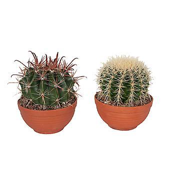 Golden Barrel Cactus ↕ 17 to 40 cm | Echinocactus Grusonii