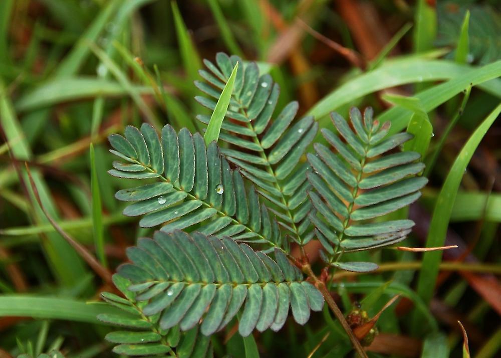 Saflax - Garden in the Bag - 70 seeds - Sensitive Plant - Mimosa pudique - Sensitiva - Sensitiva - Echte Mimose