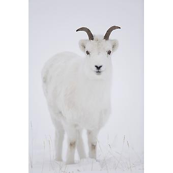 羊山クルエーン国立公園ユーコン準州カナダ PosterPrint の冬の野生の羊羊のクローズ アップ