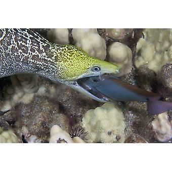Una murena ondulata nutrono un pesce chirurgo di notte Hawaii stampa del manifesto di VWPicsStocktrek immagini