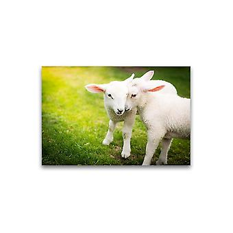 Een paar lammetjes knuffelen Poster -Afbeelding door Shutterstock