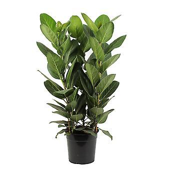 Baniano ↕ 80 a 90 cm disponible con portamacetas | Ficus benghalensis