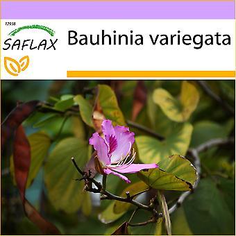 Saflax - 8 semi - cammello piede albero - Arbre à orchidées - Albero delle orchidee - Árbol orquídea - Orchideen-Baum