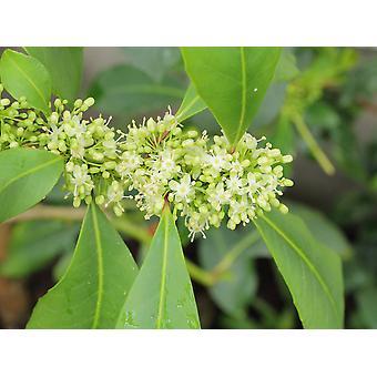 Saflax - 10 Samen - Yerba mate - Maté buisson de thé - Erba Mate - Arbusto del té mate - Mate Teestrauch