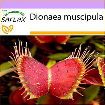 Saflax - 10 semillas - Venus Fly Trap - Dionée attrape-mouche - Venere acchiappamosche - atrapamoscas de Venus - Venus - Fliegenfalle