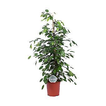 Indendørs plante fra Botanicly – Grædende figen – Højde: 105 cm – Ficus benjamina Exotica