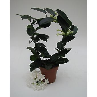 Indendørs plante fra Botanicly – Stephanotis floribunda Fleur Parfum – Højde: 45 cm