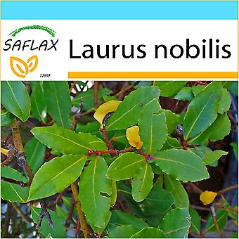 Saflax - Gift Set - 6 seeds - Bay Tree - Laurier vrai - Alloro - Laurel de Apolo - Gewürzlorbeerbaum
