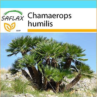 Saflax - gåva Set - 10 frön - dvärg fläkt Palm - Palmier nain - Palma nana - Palma enana - Zwergpalme