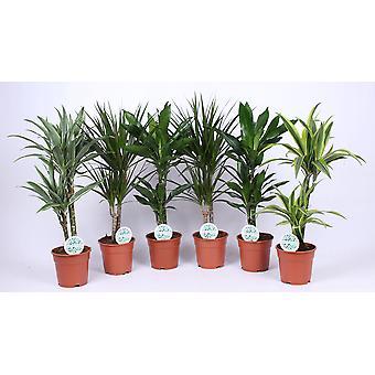 Plantes d'intérieur de Botanicly – 6 × Dragonnier – Hauteur: 60 cm – Dracaena Marginata
