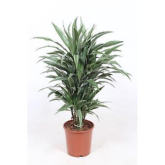 Drakenboom ↕ 70 tot 162 cm verkrijgbaar met bloempot | Dracaena derem. Warneckei