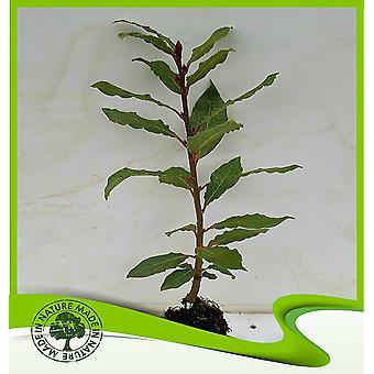 Laurus nobilis (Echte laurierboom)-plant