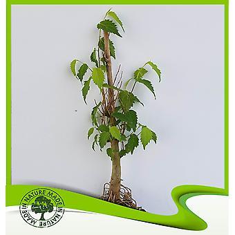 Celtis australis (Europese brandnetel boom)-plant