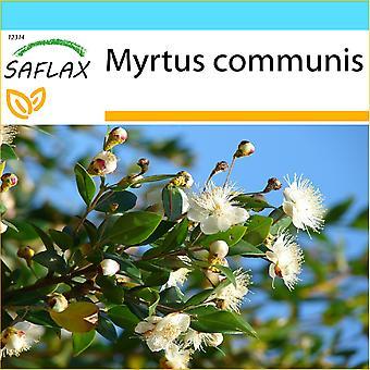 Saflax - gave sett - 30 frø - sant Myrtle - Myrte kommunisert - Mirto - Mirto - Echte Myrte / Brautmyrte