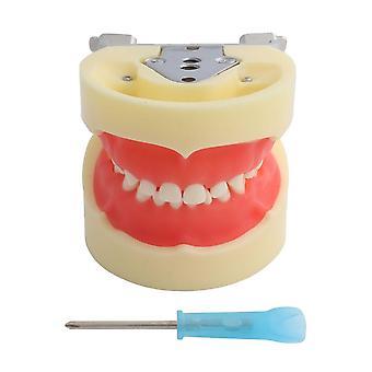 Dental Model Teeth, Screw-in Demonstration Soft Hard Gum Tooth