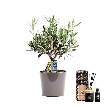 Plantas Interiores de Botanicaly – Oliveira – Altura: 40 cm – Olea europeae