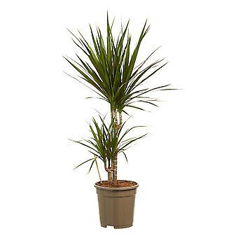 Dragon tree ↕ 45 to 125 cm available with planter | Dracaena Marginata